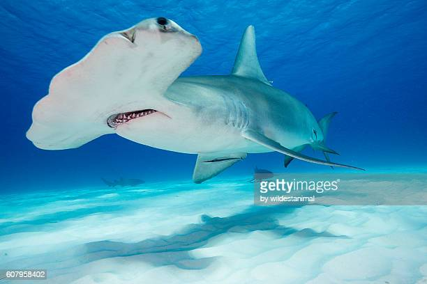 Great hammerhead Shark Underwater