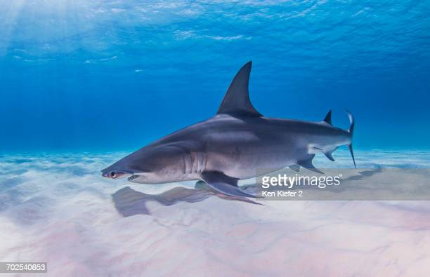 great hammerhead shark, underwater view - bimini stock photos and pictures