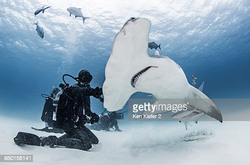 Great Hammerhead Shark with divers around it