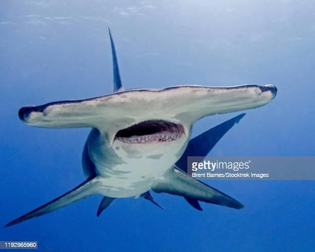 great hammerhead shark with mouth open, tiger beach, bahamas. - shark attack - fotografias e filmes do acervo