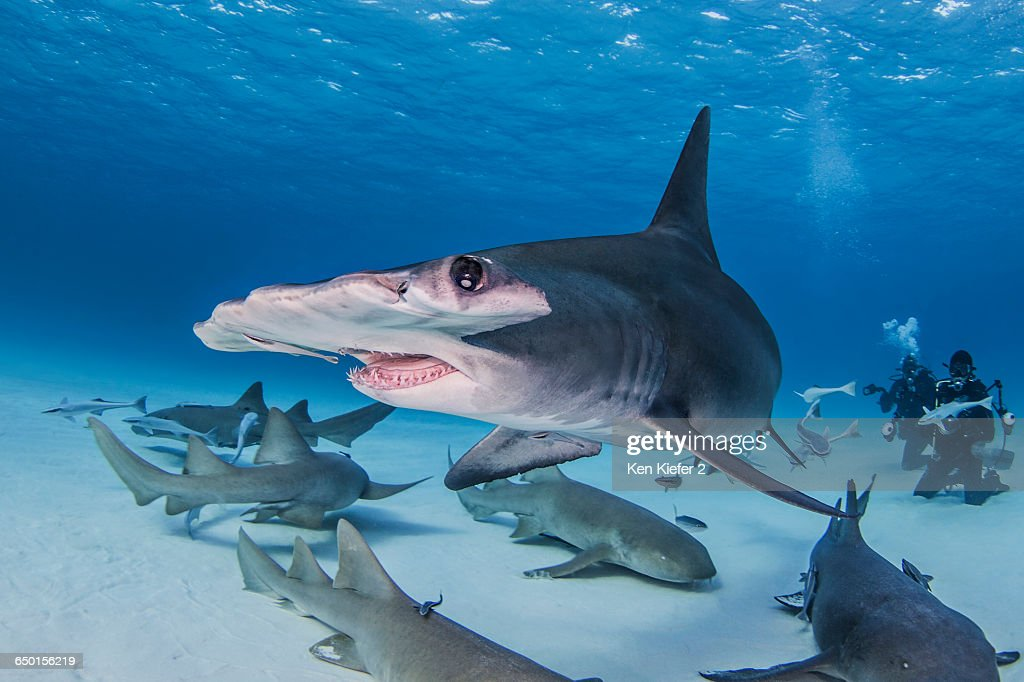 Great Hammerhead Shark with Nurse Sharks around it, divers in background : Stock Photo