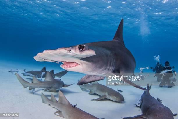 Great Hammerhead shark with nurse sharks, underwater view