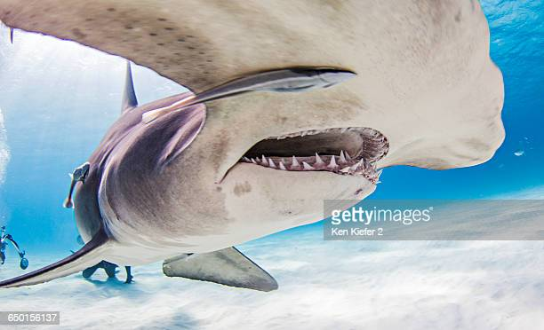 Great Hammerhead Sharks with divers in background