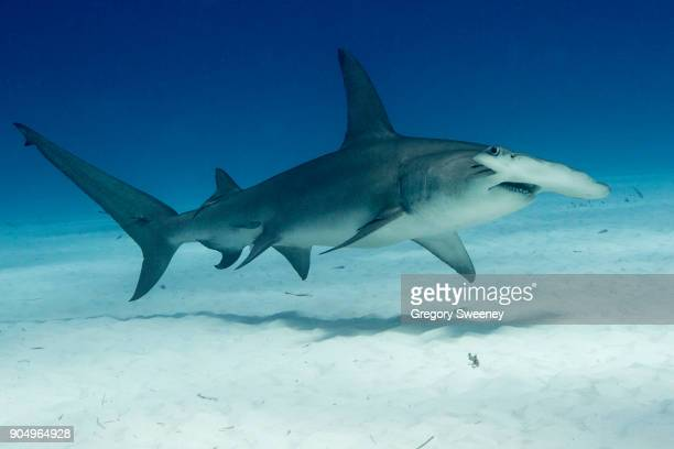 Great Hammerhead Swimming over Sand