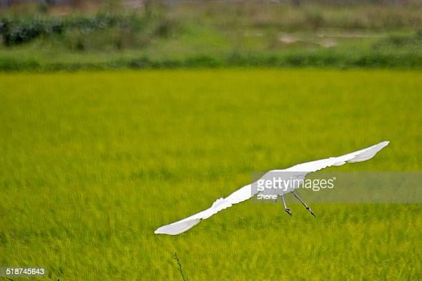 Great Heron in Flight.