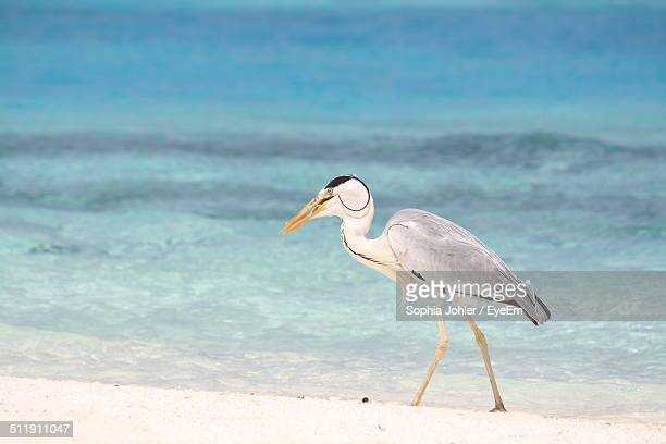 Great heron walking in sand
