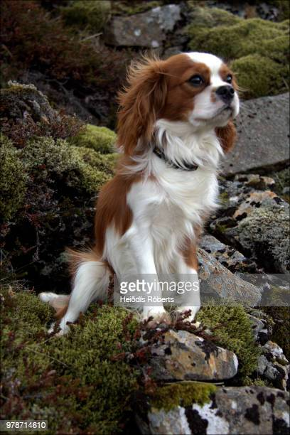 a great hiking dog... - cavalier king charles spaniel photos et images de collection