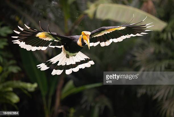 great hornbill (buceros bicornis) bird in flight, rainforest - island of borneo stock pictures, royalty-free photos & images