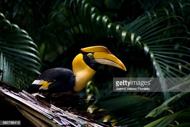 great hornbill - jurong bird park stock pictures, royalty-free photos & images