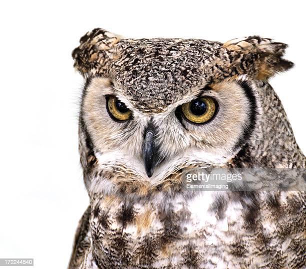 Great Horned Owl (Bubo virginianus) 7