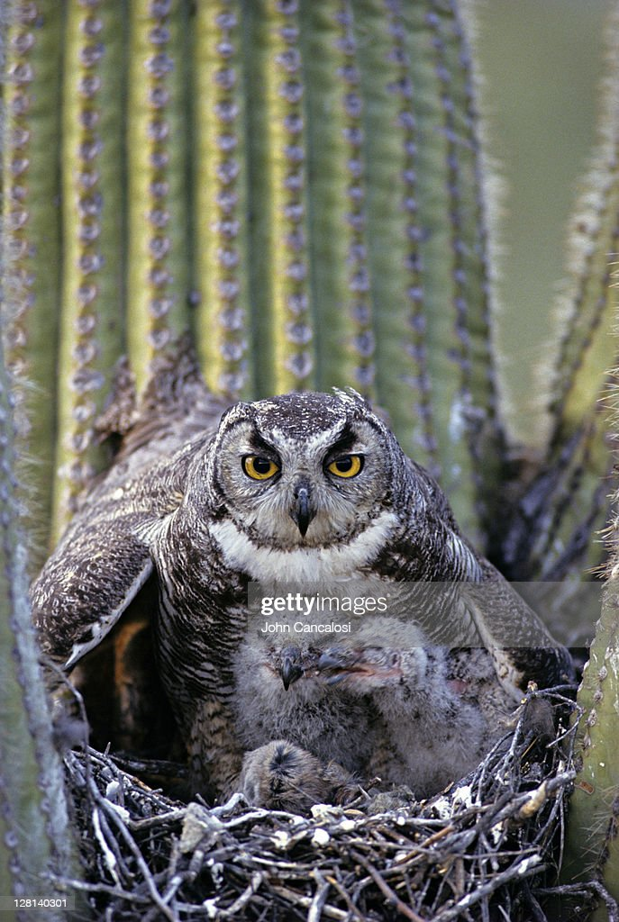 Great Horned Owl, Bubo virginianus, on nest with chicks in saguaro cactus, Arizona, USA : Stock Photo