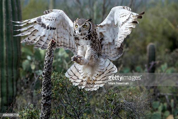 great horned owl, bubo virginianus - great horned owl stock pictures, royalty-free photos & images