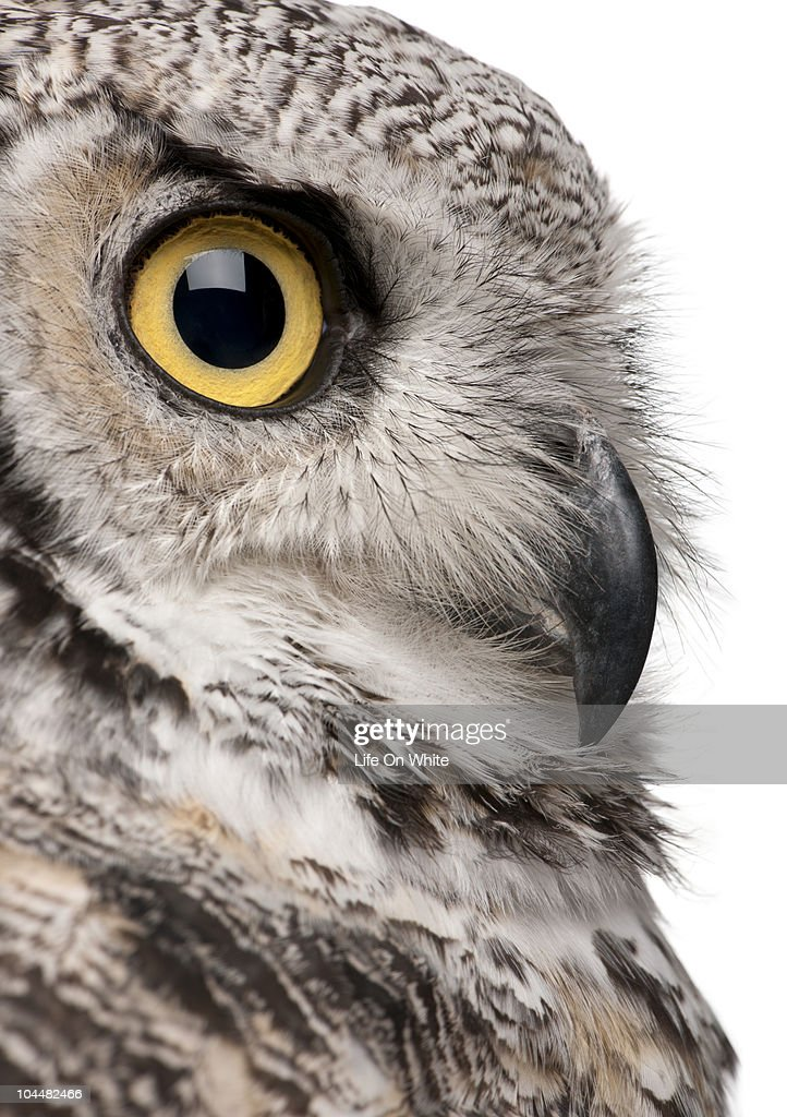 Great Horned Owl - Bubo Virginianus Subarcticus : Stock Photo