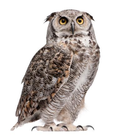 Great horned owl, Bubo virginianus subarcticus 108528773