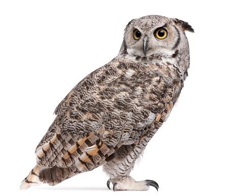 Great Horned Owl, Bubo Virginianus Subarcticus, 516921484
