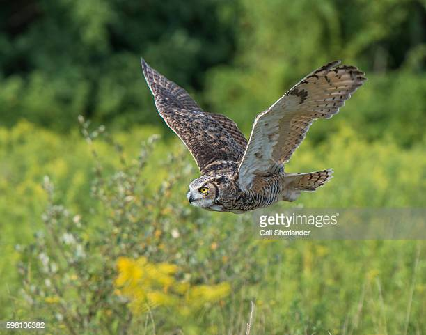 great horned owl flying - great horned owl stock pictures, royalty-free photos & images