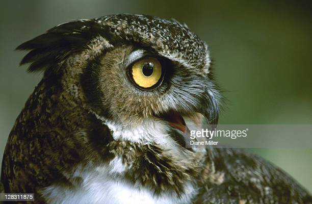 great horned owl, headshot - great horned owl stock pictures, royalty-free photos & images
