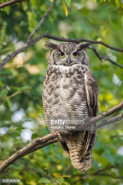 great horned owl in boreal forest - great horned owl stock pictures, royalty-free photos & images