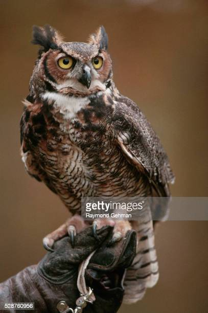 great horned owl in captivity - great horned owl stock pictures, royalty-free photos & images