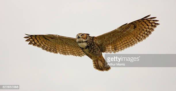 great horned owl in flight - great horned owl stock pictures, royalty-free photos & images