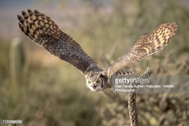 great horned owl in flight taken in se arizona - great horned owl stock pictures, royalty-free photos & images