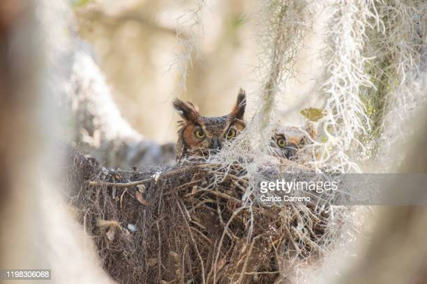 great horned owl in nest with owlet - great horned owl stock pictures, royalty-free photos & images