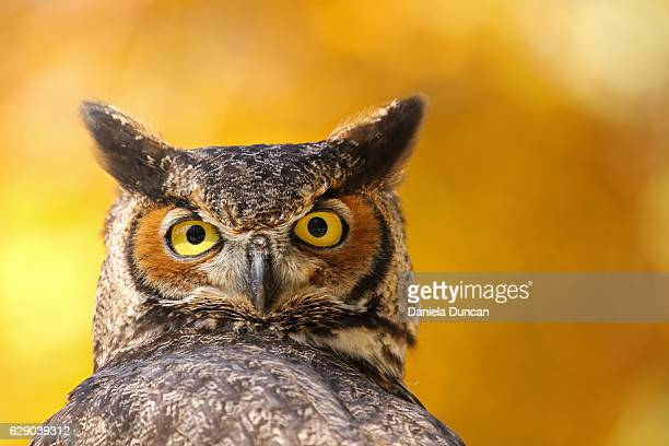 great horned owl looking at camera - great horned owl stock pictures, royalty-free photos & images