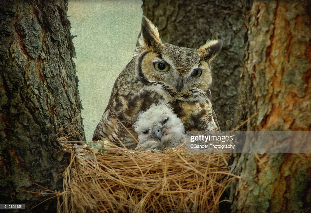 Great Horned Owl Mom And Baby High Res Stock Photo Getty