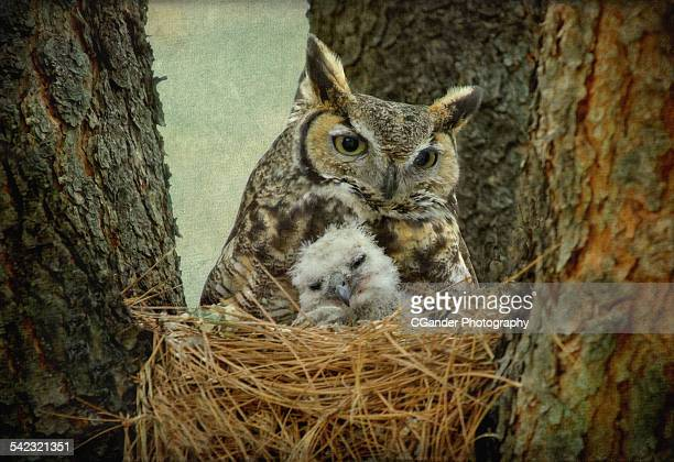 Great Horned Owl Mom and Baby