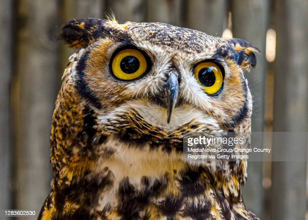"""Great Horned Owl named Winston just before he""""u2019s released back into his habitat at the OC Zoo at the Irvine Regional Park in Orange on Wednesday,..."""