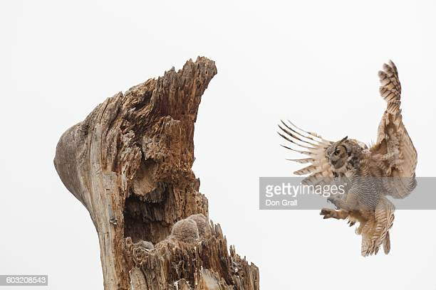 great horned owl nest - great horned owl stock pictures, royalty-free photos & images
