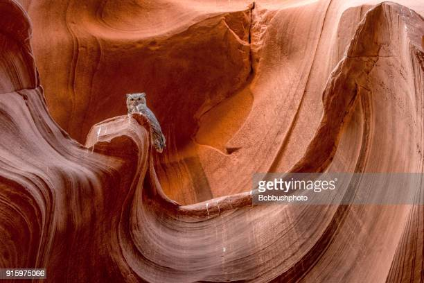 great horned owl, owl canyon, arizona - great horned owl stock pictures, royalty-free photos & images