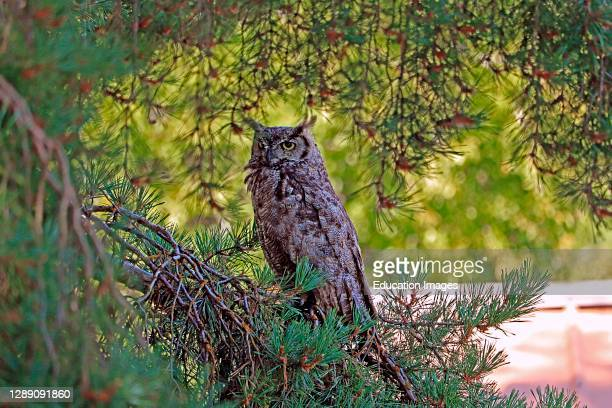 Great horned owl perched among branches in pine tree.