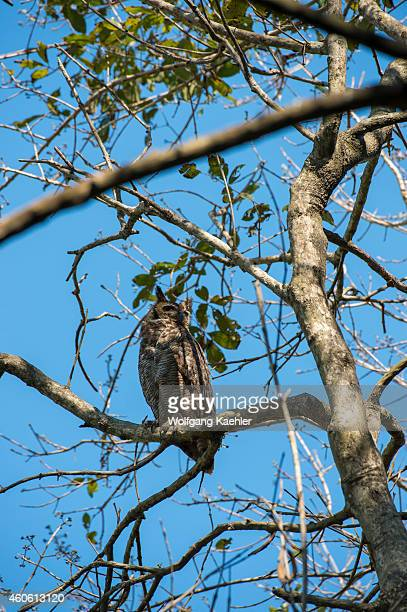 Great horned owl perched in a tree near Porto Jofre in the northern Pantanal, Mato Grosso province in Brazil.