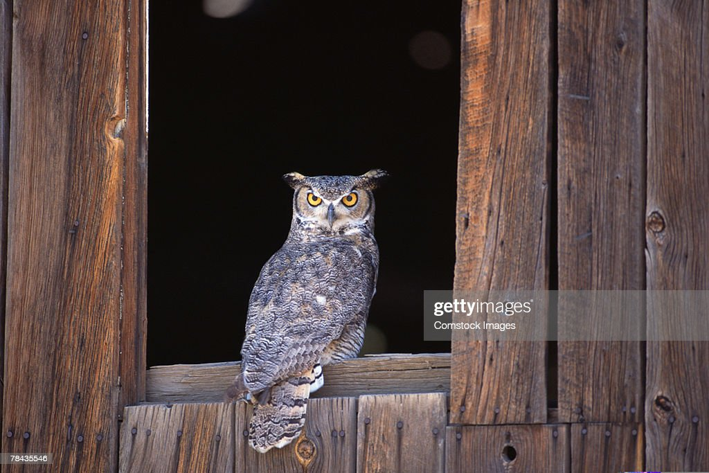 Great horned owl perched in window : Stockfoto