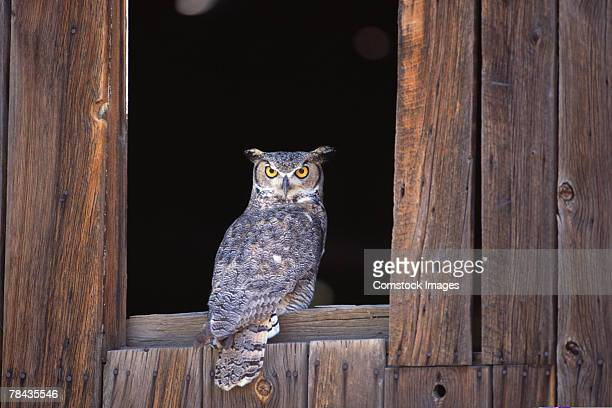 great horned owl perched in window - great horned owl stock pictures, royalty-free photos & images