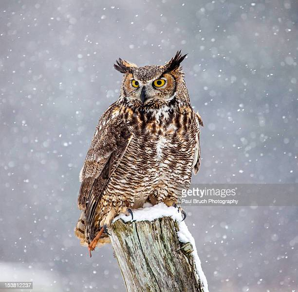 great horned owl - perching stock photos and pictures