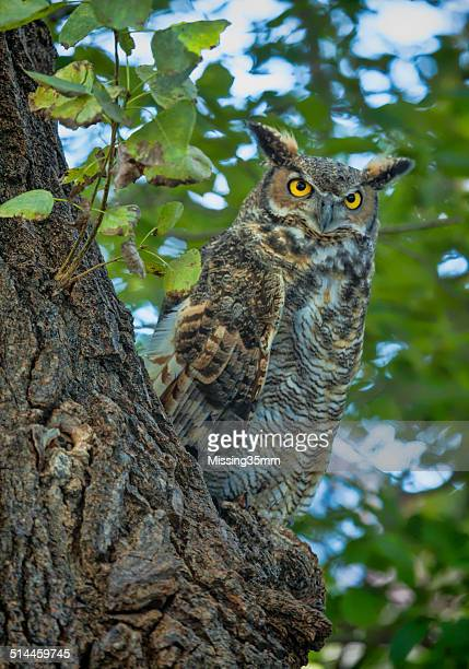 great horned owl - great horned owl stock pictures, royalty-free photos & images