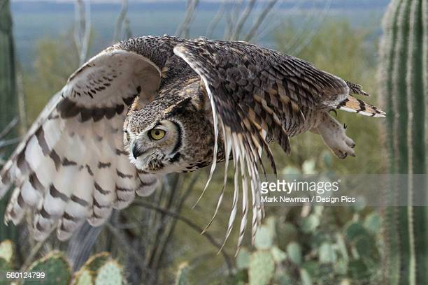great horned owl (bubo virginianus) - great horned owl stock pictures, royalty-free photos & images