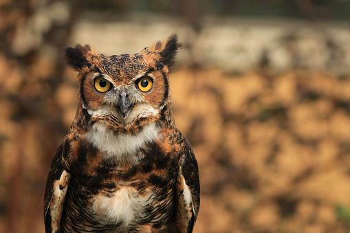 Great Horned Owl 610766246