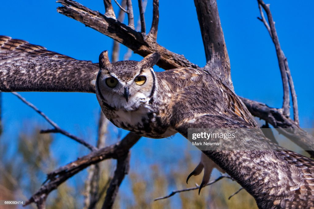 Great Horned Owl : Stock Photo