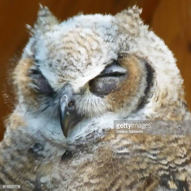 great horned owl - czech hunters stock pictures, royalty-free photos & images