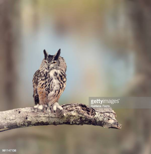 great horned owl - svetlana stock photos and pictures