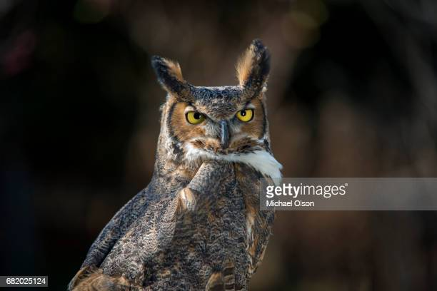 great horned owl portrait - great horned owl stock pictures, royalty-free photos & images