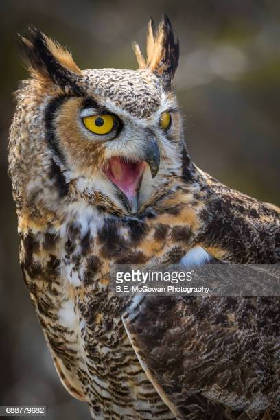 great horned owl screech - great horned owl stock pictures, royalty-free photos & images