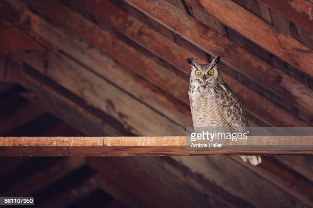 Great Horned Owl sitting on a wooden rafter