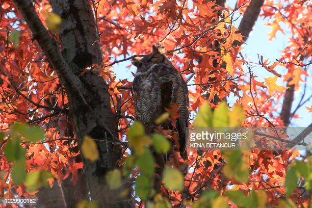 """Great Horned Owl stand on a tree at the Rambles in Central Park during a tour offer by Robert DeCandido also known as """"Birding Bob"""" in Central Park,..."""