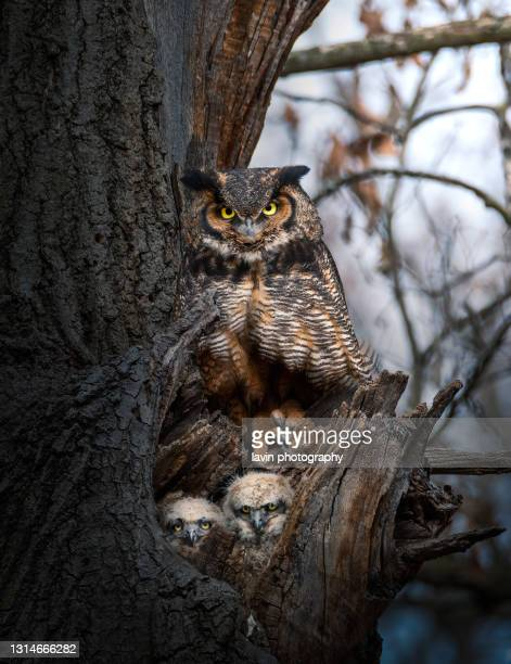 great horned owl with two owlets - great horned owl stock pictures, royalty-free photos & images