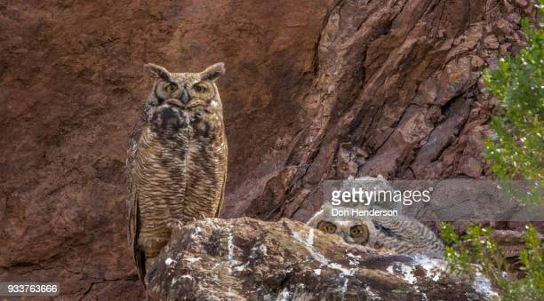 Great Horned Owl with wo Owlets