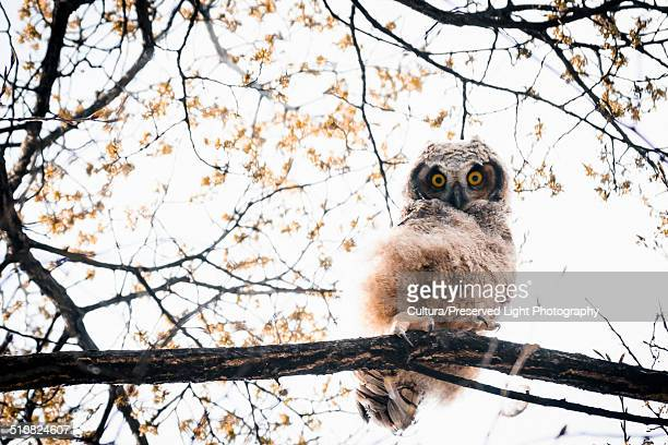 Great Horned Owlet (Bubo virginianus) peering down with yellow eyes in the South Okanagan Valley during the spring, Penticton, British Columbia, Canada